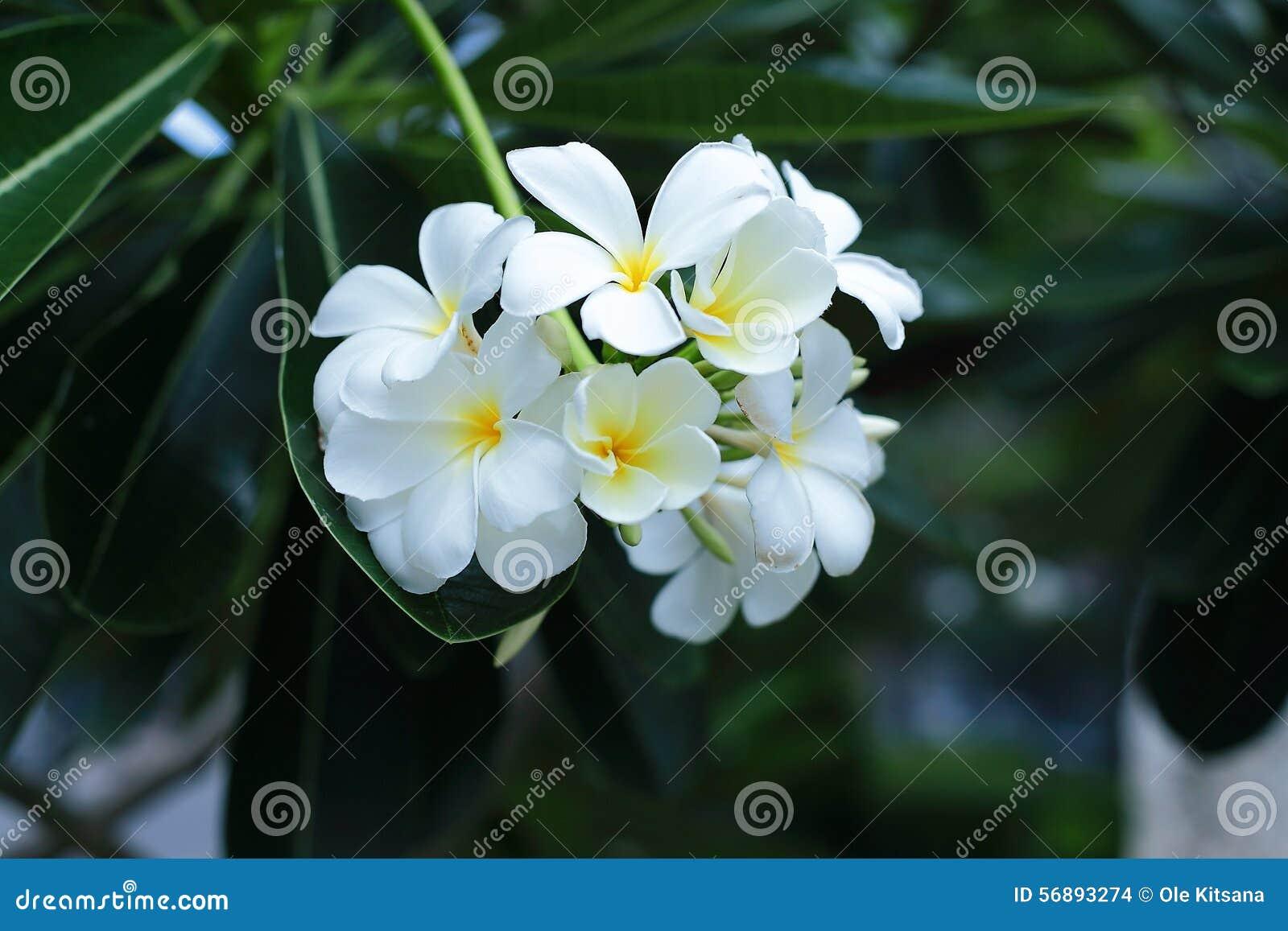 Plumeria bianco