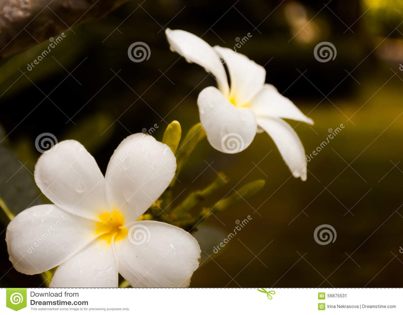 Plumeria de fleurs blanches avec la baisse de pluie