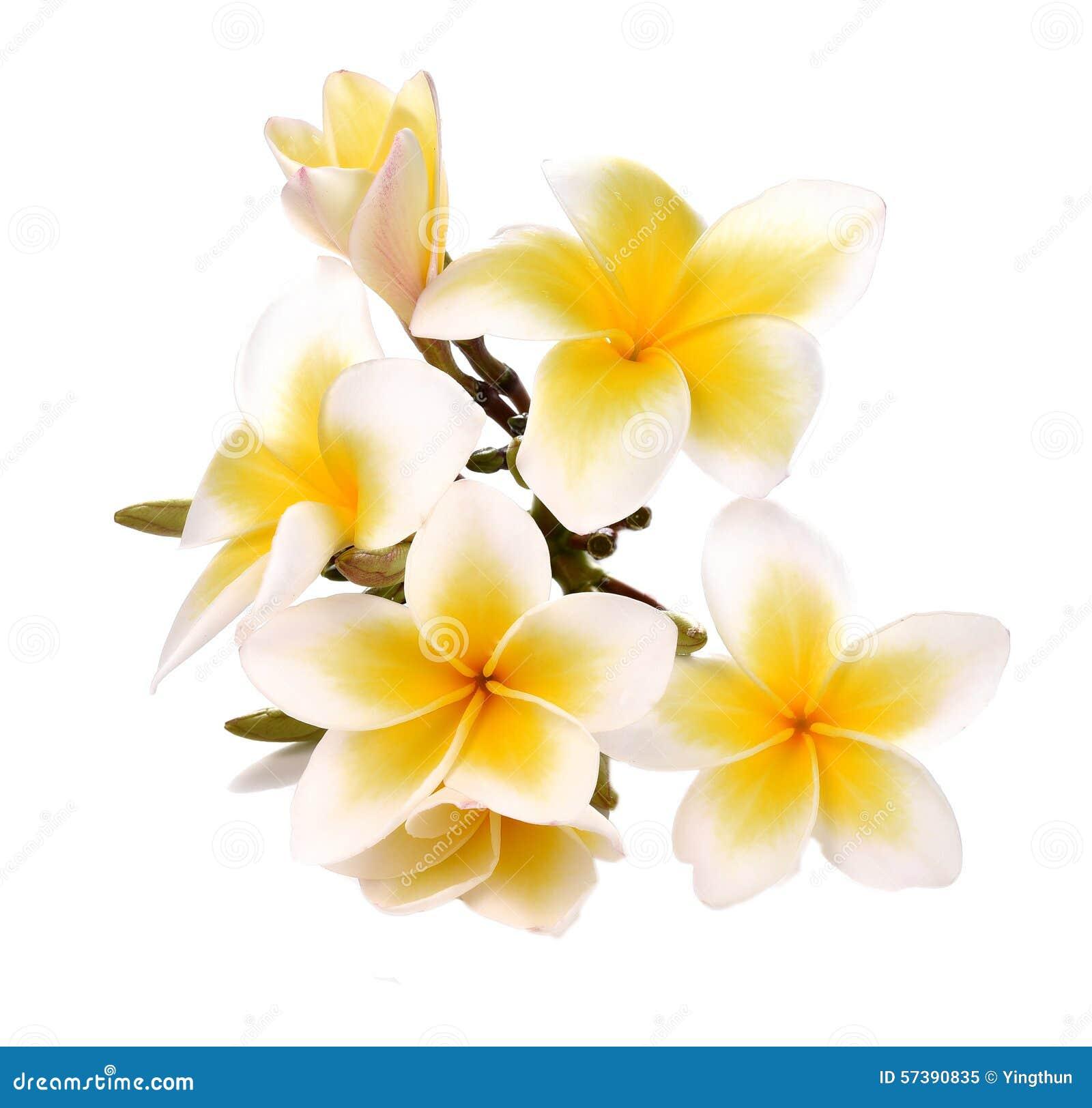 Plumeria en frangipanibloemen isoleerden witte achtergrond