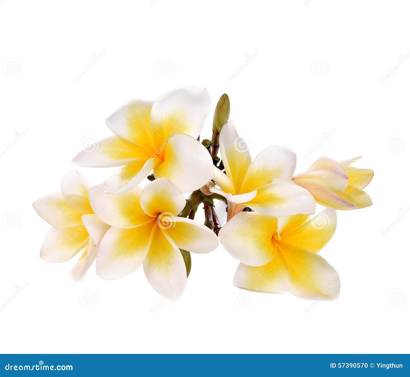 Plumeria en frangipanibloemen isoleerden witte achtergrond en