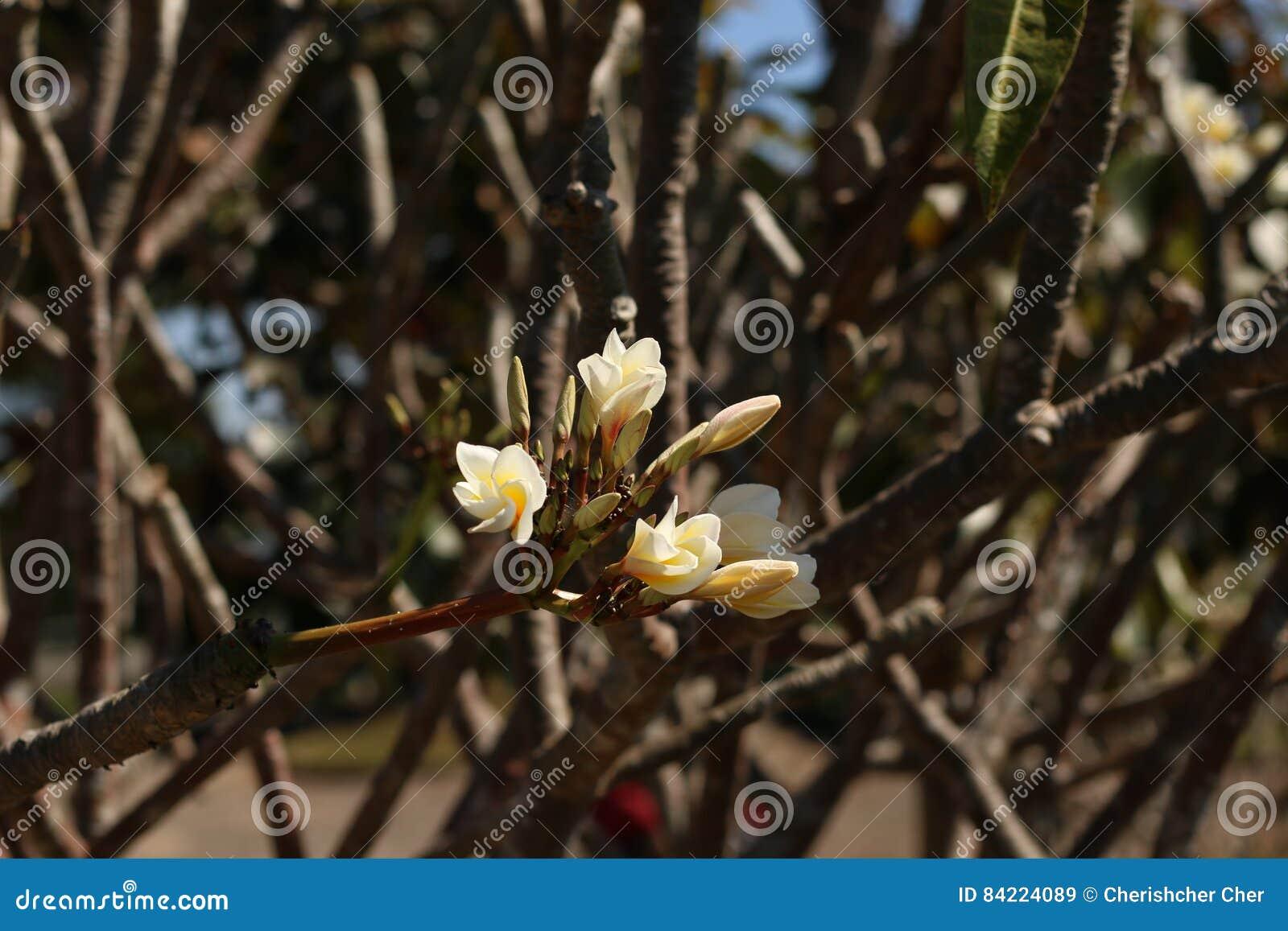 Plumeria en Tailandia