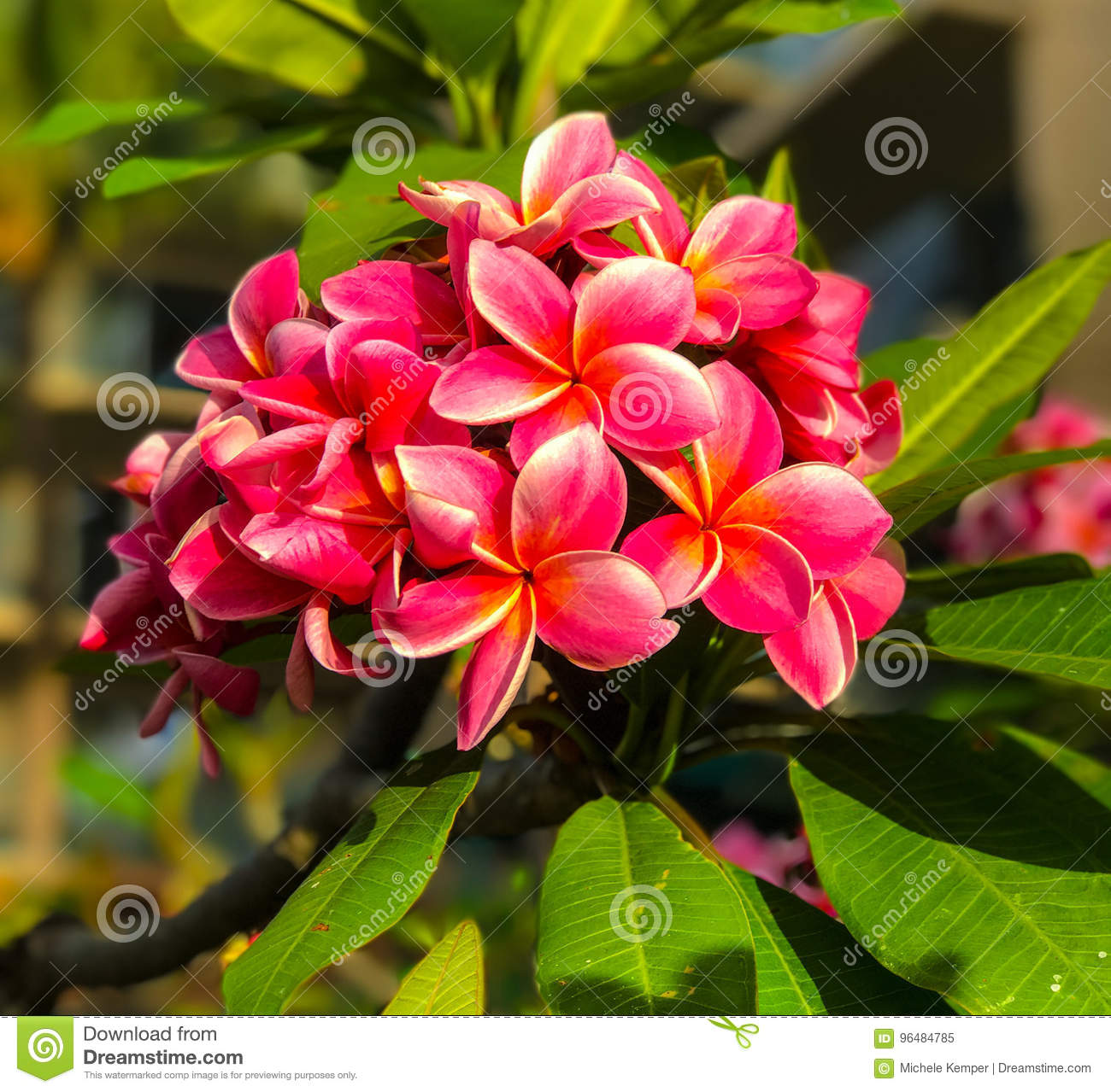 Plumeria five petal blooms stock image image of flower 96484785 trees famous for their gorgeous flowers which are used to make leis and floral garlands other common names are frangipani and hawaiian lei flower izmirmasajfo