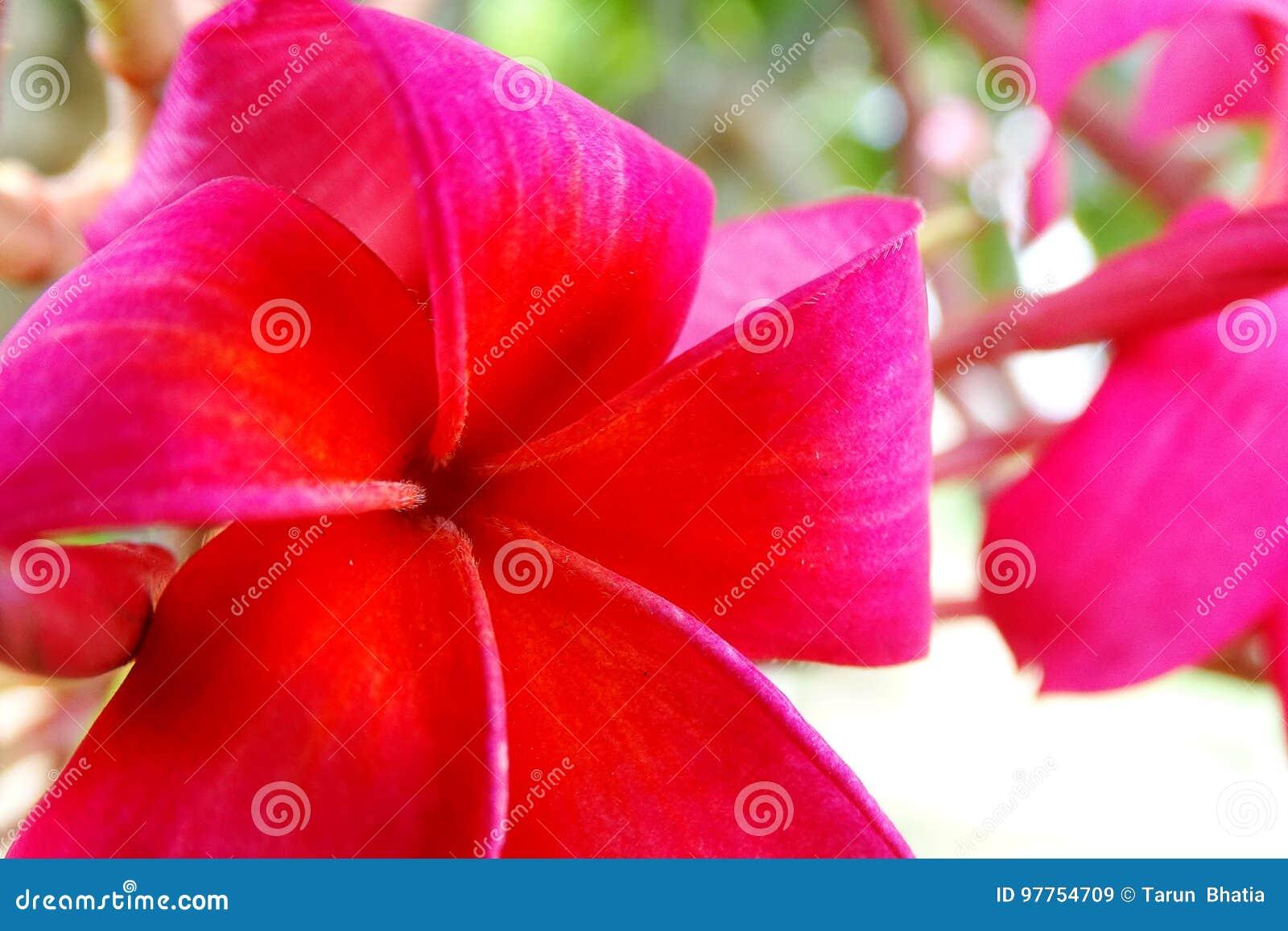 Plumeria Flower stock image. Image of apocynaceae, portrait - 97754709