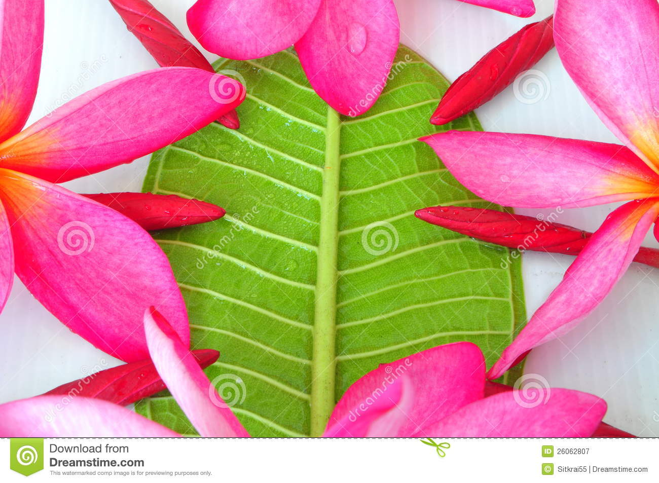 Plumeria Flower Buds And Blooming Red Stock Image Image