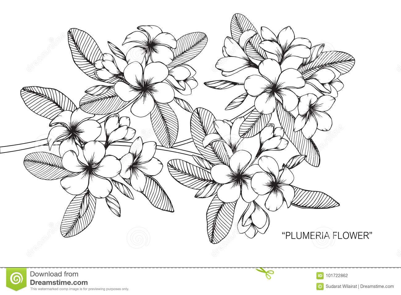 Plumeria Flower Drawing And Sketch Stock Vector Illustration Of Black Flourish 101722862