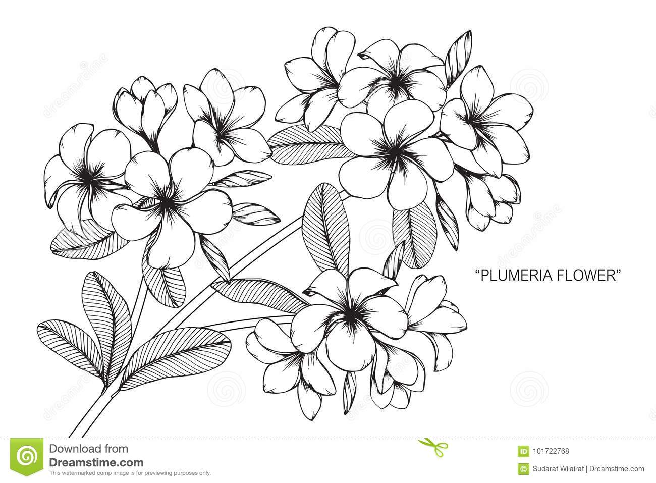 7343f6756 Plumeria flower drawing and sketch with line-art on white backgrounds.