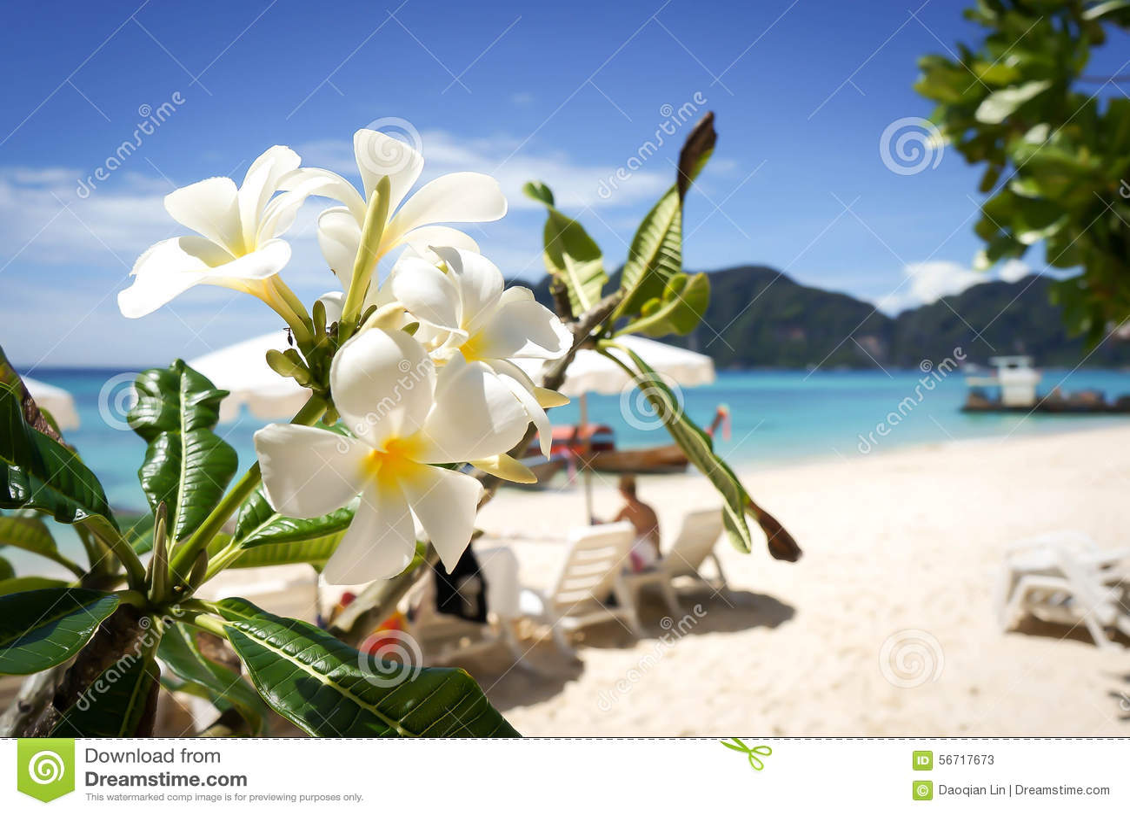Tropical Island Flowers: Plumeria Flower On Tropical Beach Background Stock Image