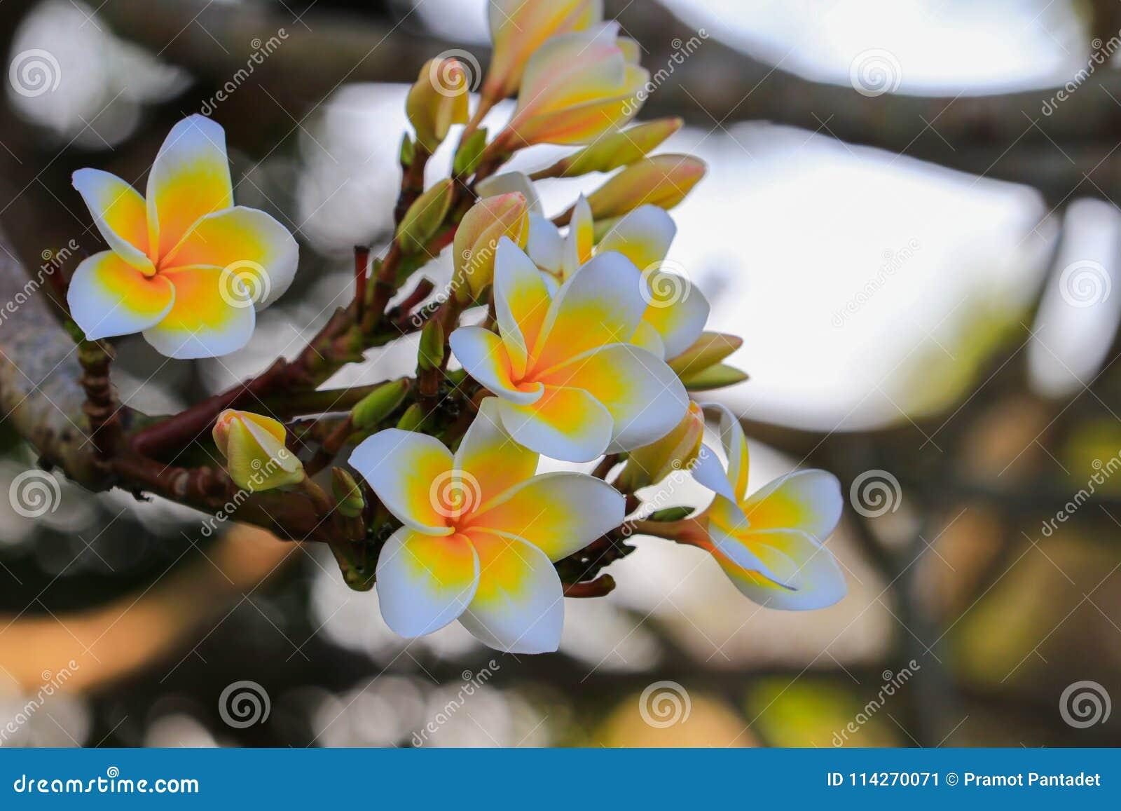 Plumeria Flower White And Pollen Yellow Beautiful On Tree Comm