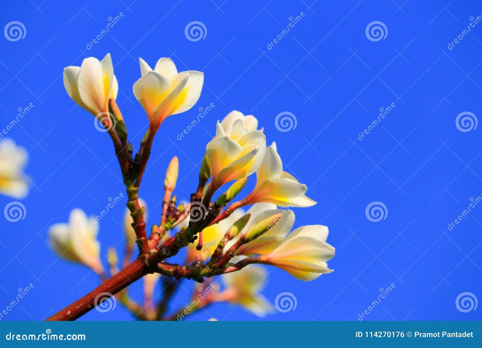 Plumeria Flower White And Pollen Yellow Beautiful On Tree Sky Ba