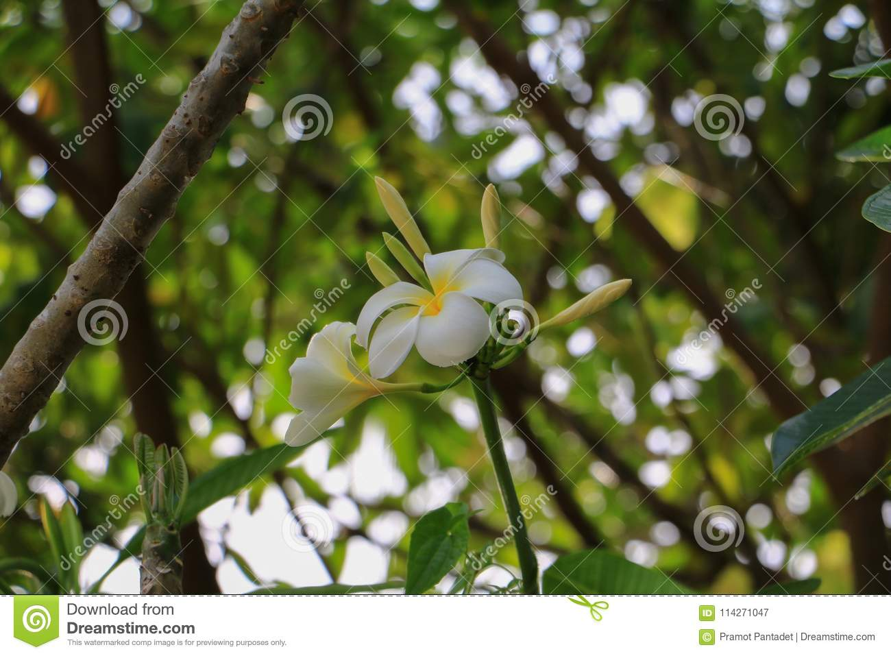 Plumeria Flower White Yellow Beautiful On Tree Common Name Poc