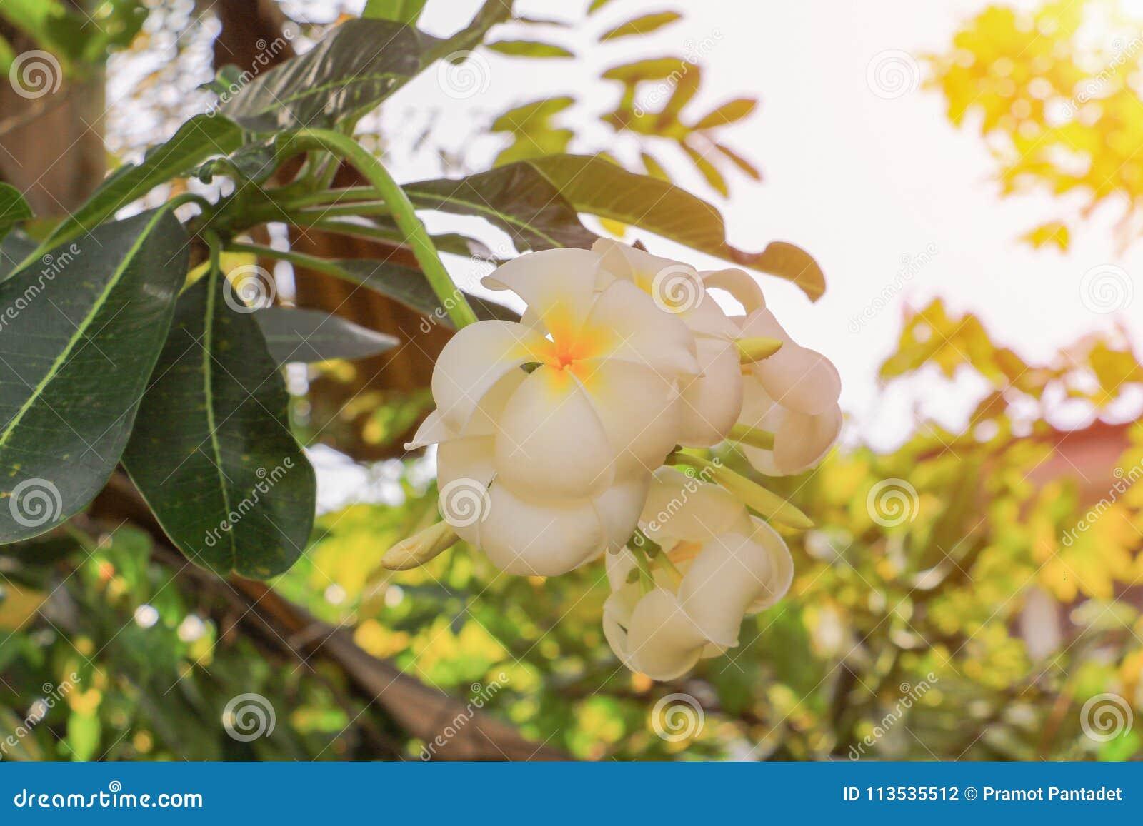Plumeria Flower White Yellow Beautiful On Tree With Sunset Light