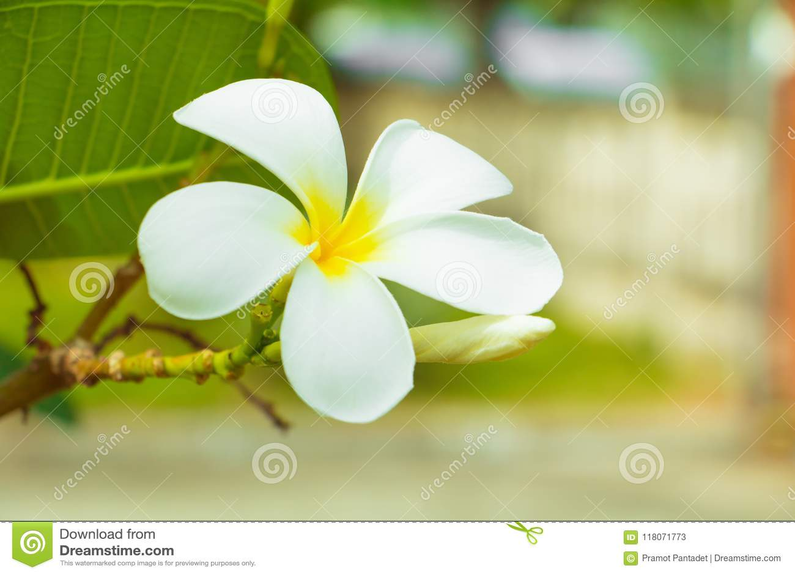 Plumeria Flower White Yellow On Tree Common Name Pocynaceae