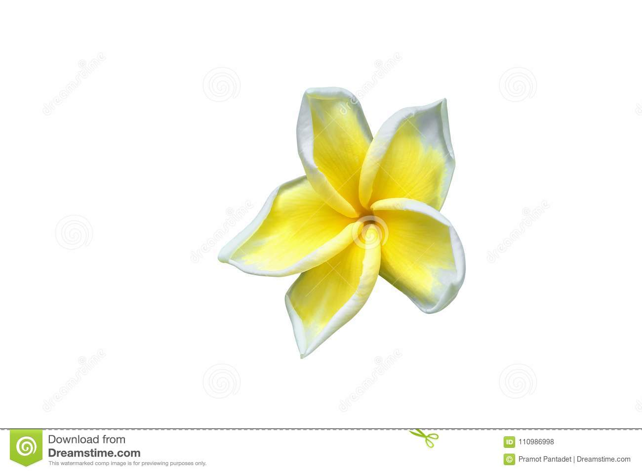 Plumeria Flower Yellow Isolated On White Background And Clipping