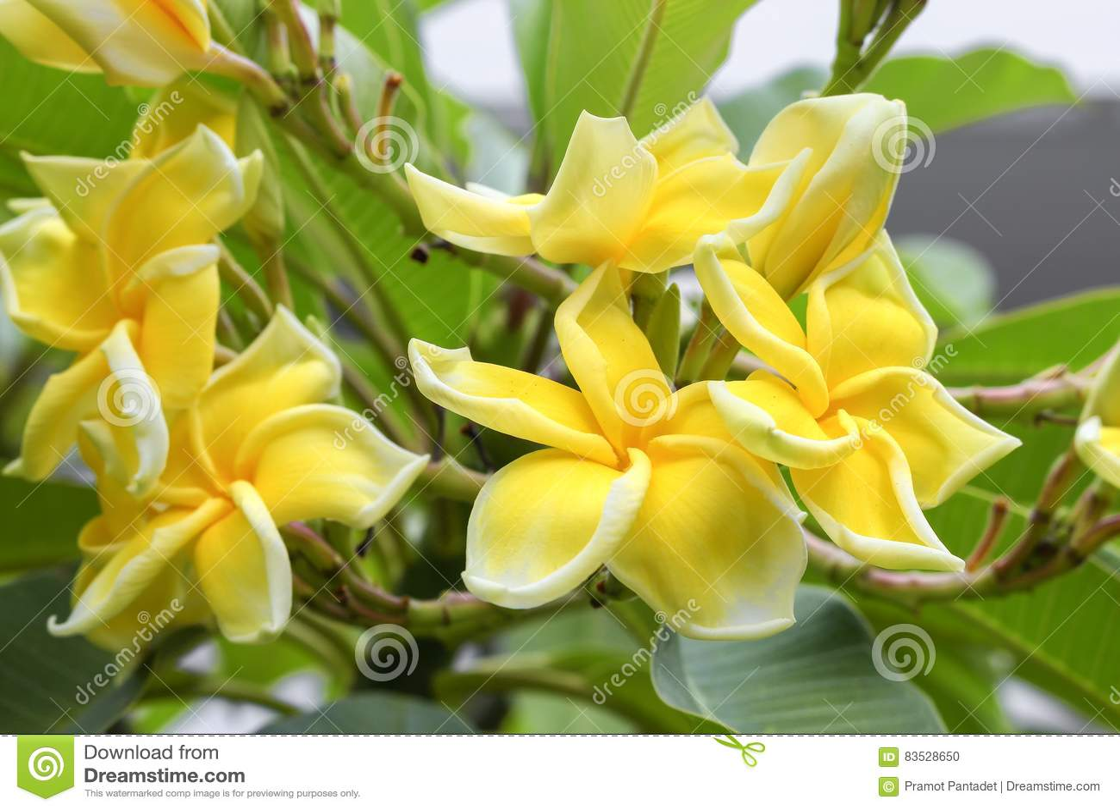 Plumeria Flower Yellow And Pink Frangipani Tropical Flower Stock