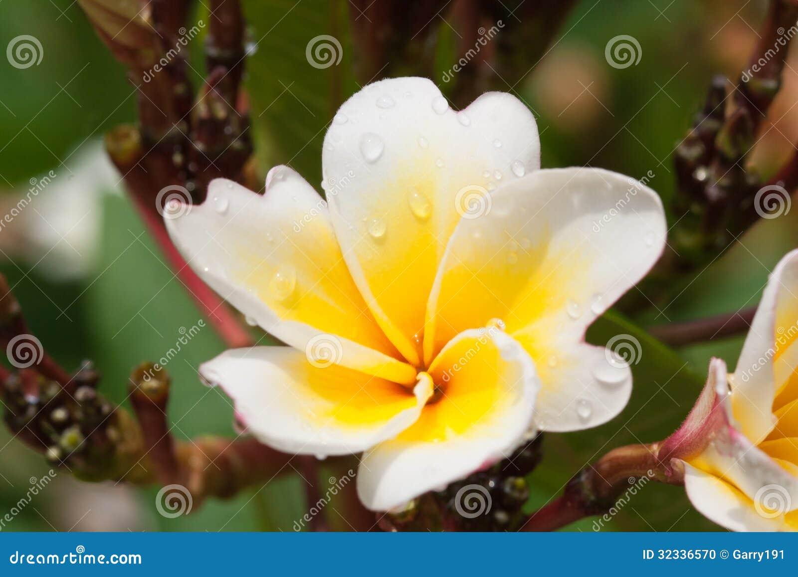 Plumeria Flowers Closeup Tropical Plant Stock Photo