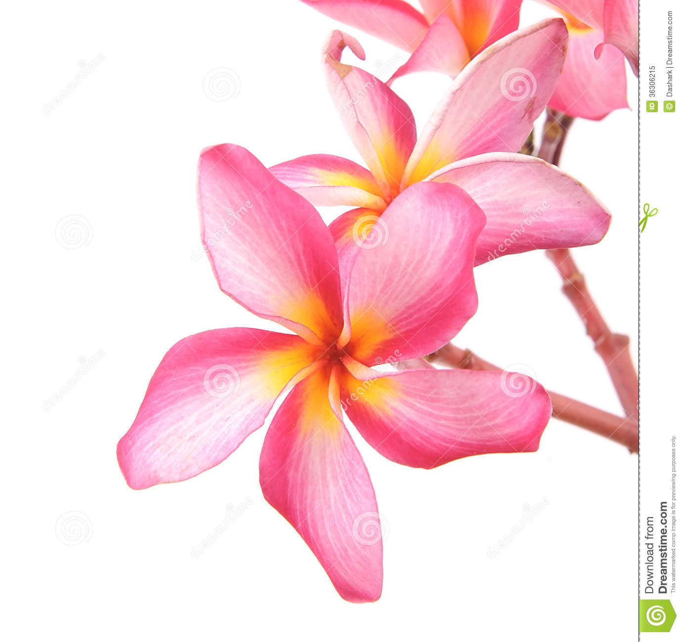 Plumeria flowers stock image. Image of element, calmness ...