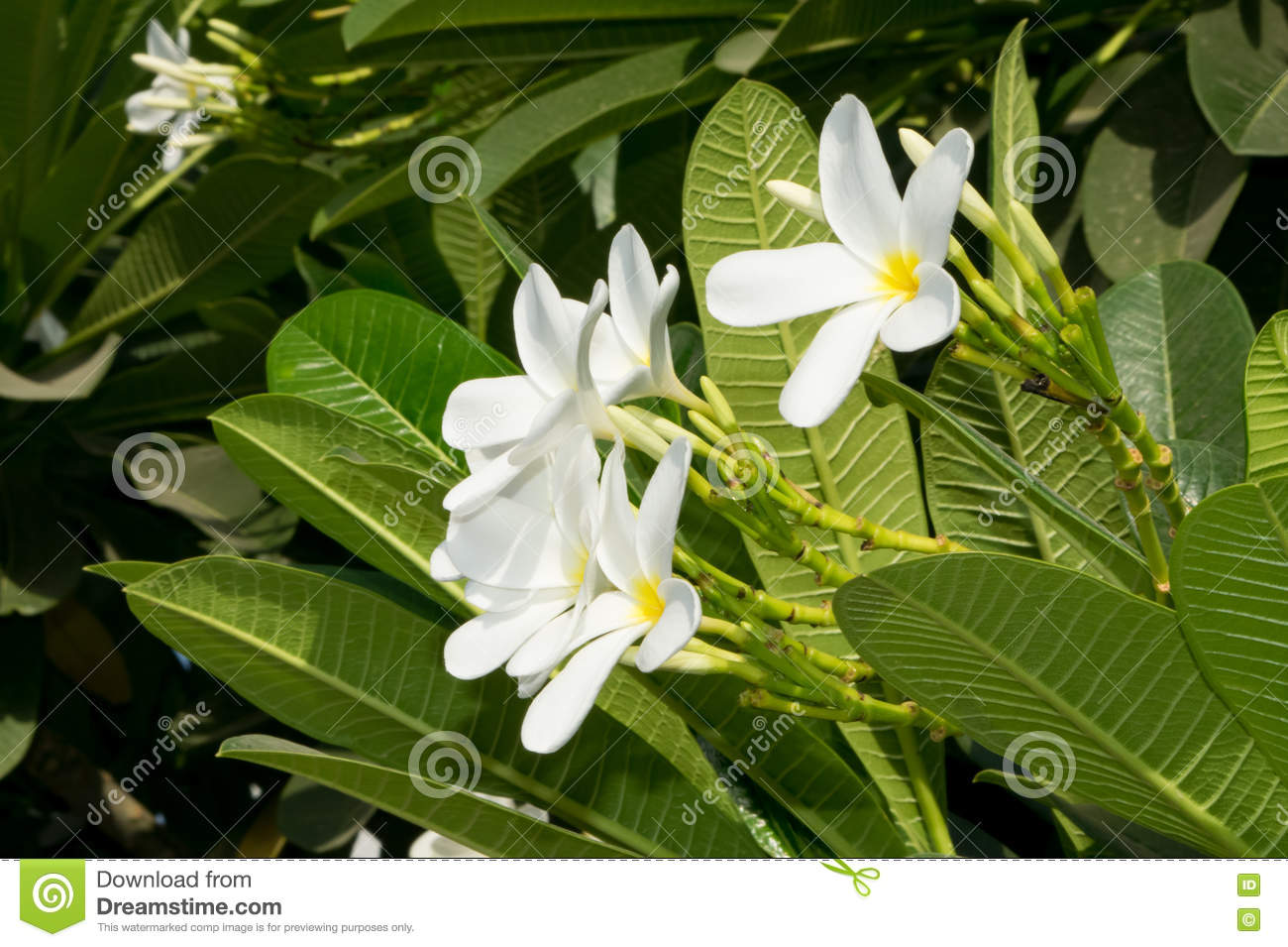 Plumeria flowers popularly known as Champa in India