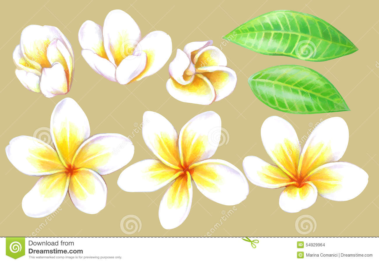 Plumeria Stock Vector Illustration Of Culture Color 54929964