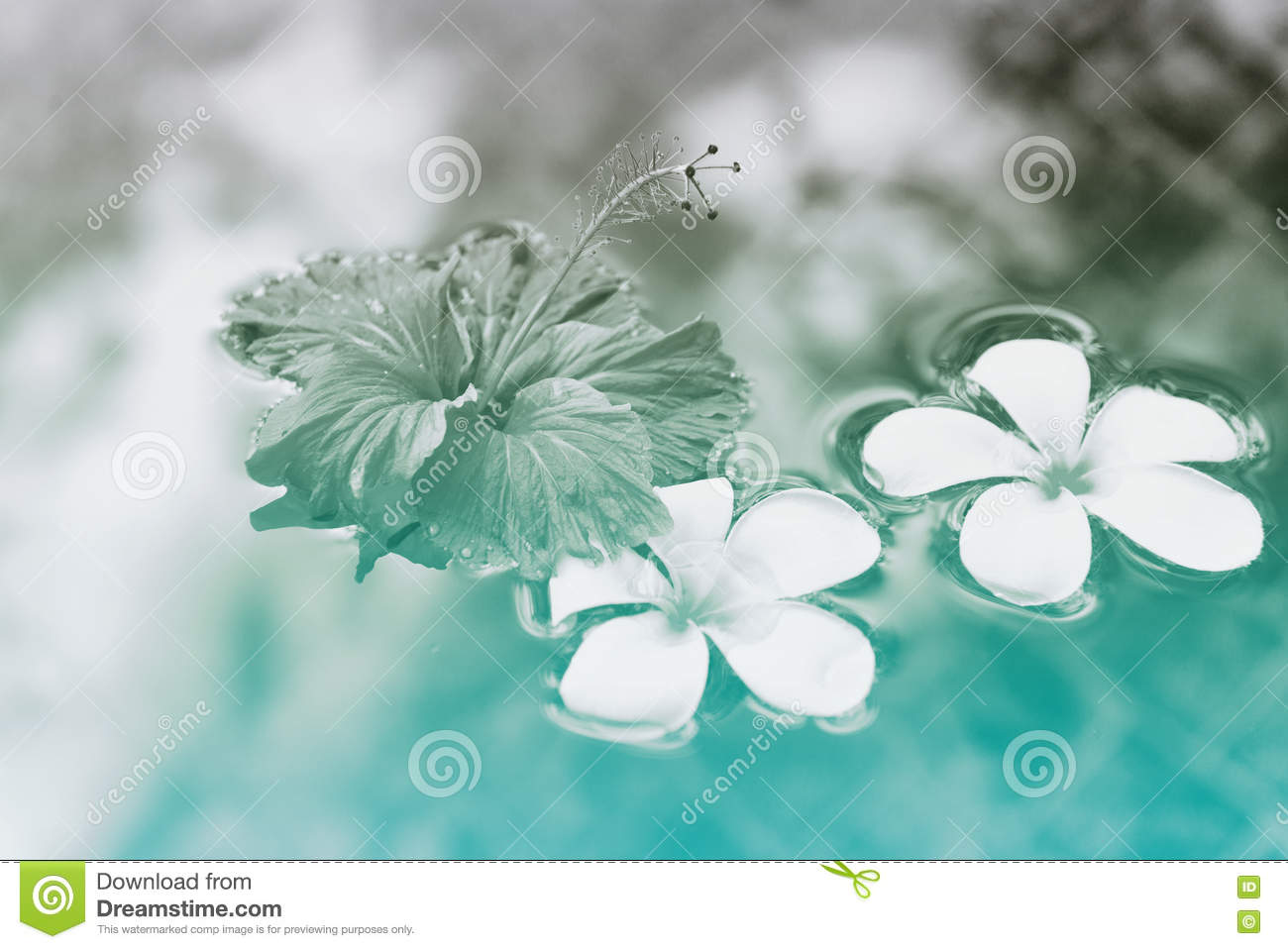 Plumeria And Hibiscus Flowers Floating On Water Stock Photo Image