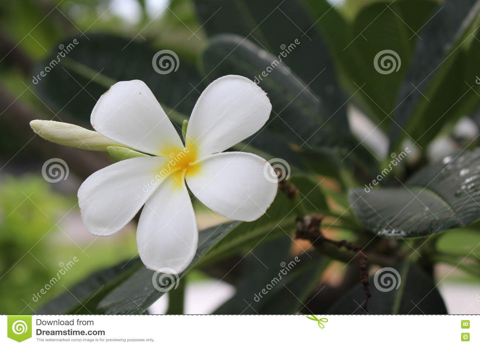 Plumeria kwiaty