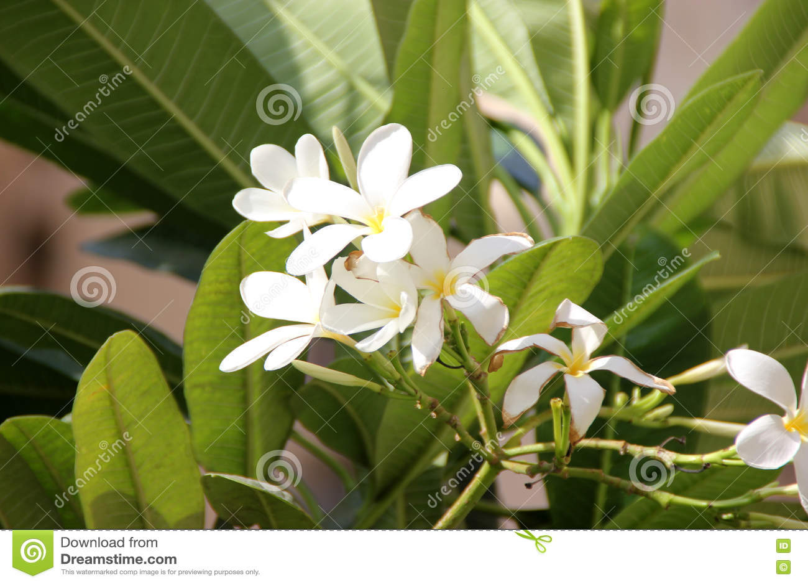 Plumeria Obtusa Singapore Graveyard Flower Stock Image Image Of