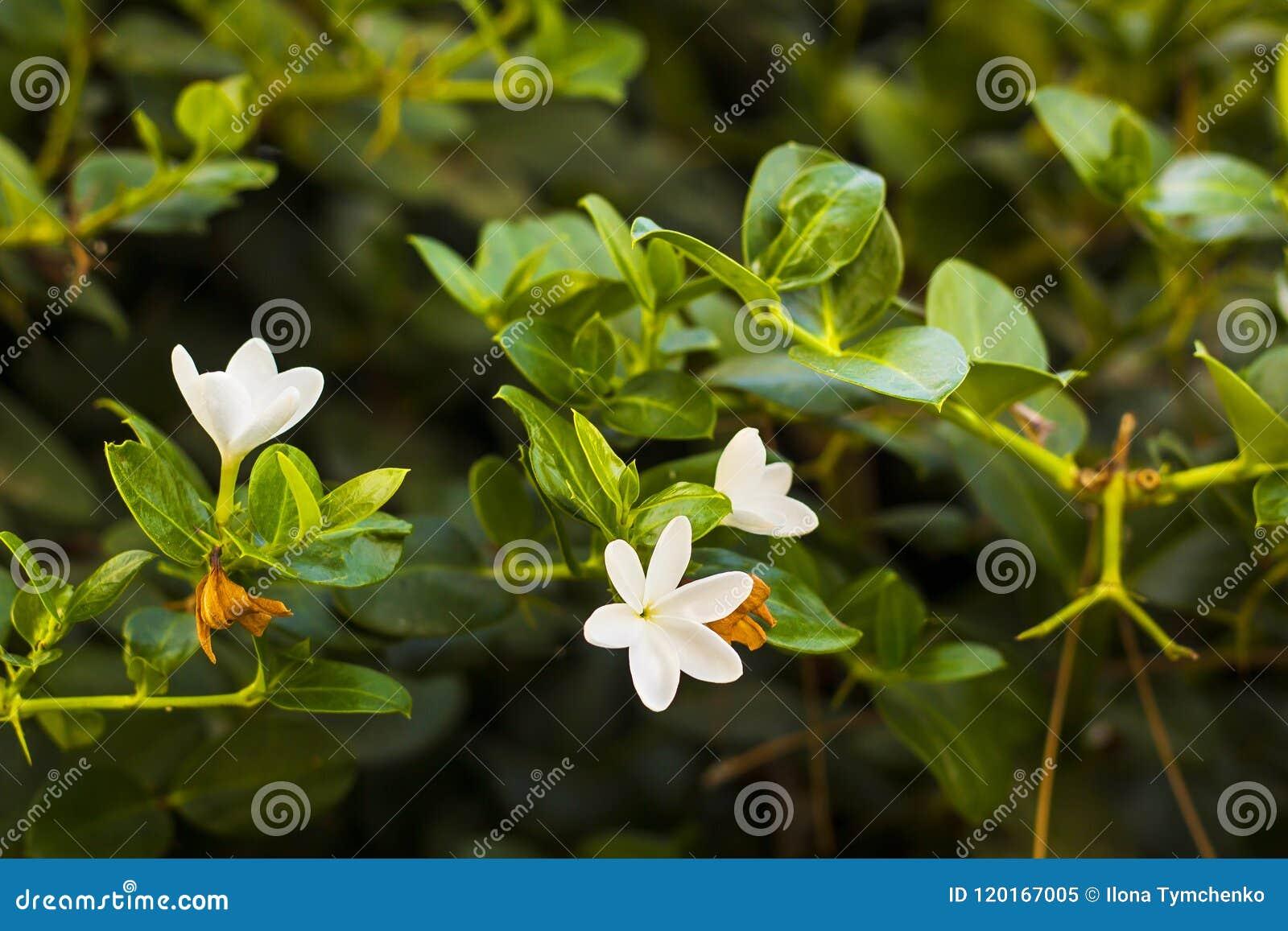 Plumeria Ou Frangipani De Fleurs Blanches Sur La Branche D Arbre