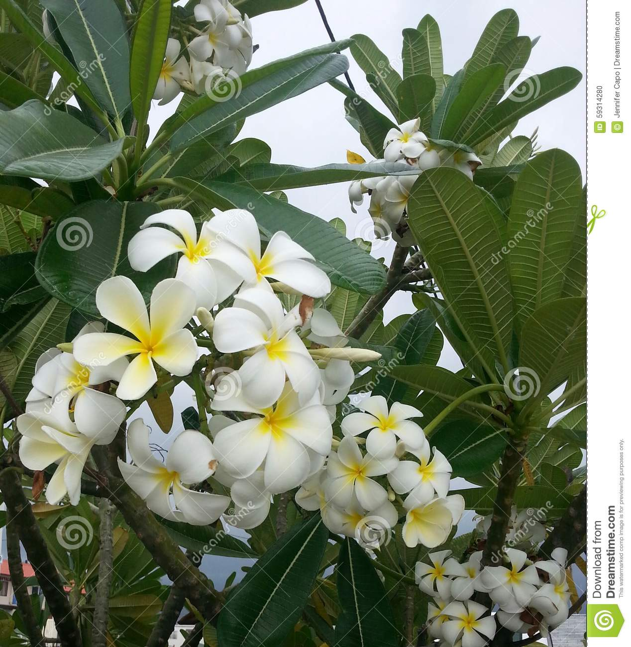 Plumeria tree with white and yellow flowers stock photo image of download comp mightylinksfo