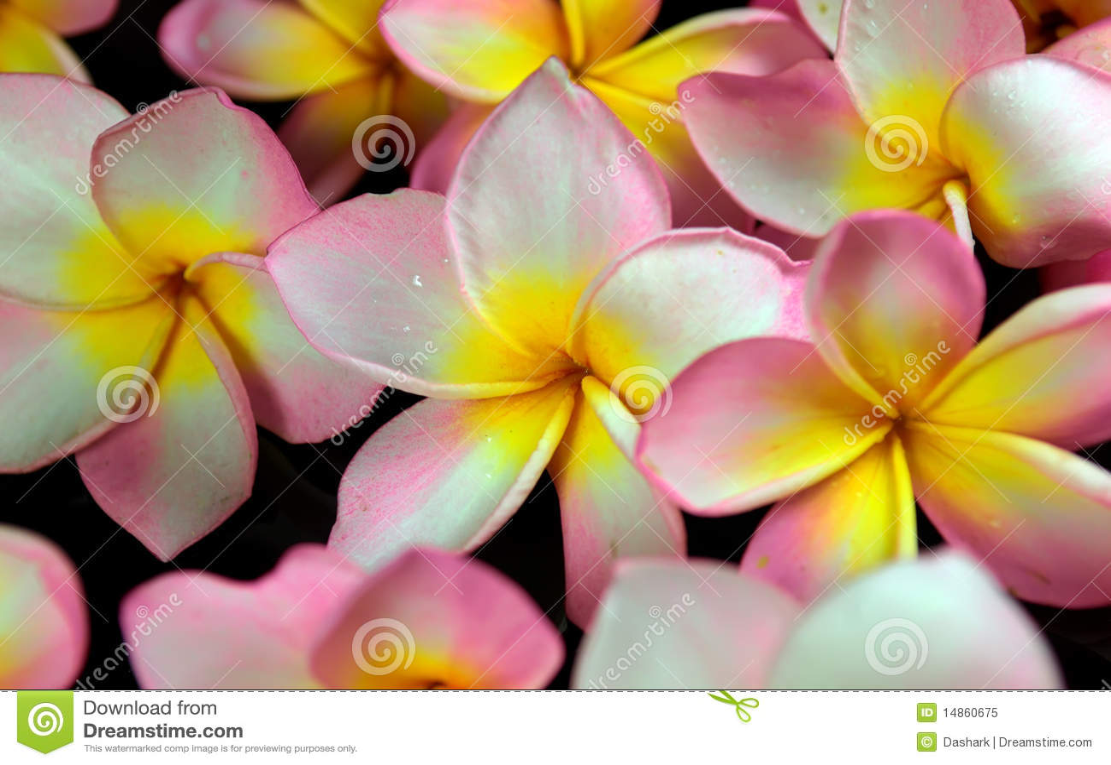 Plumeria tropical flower