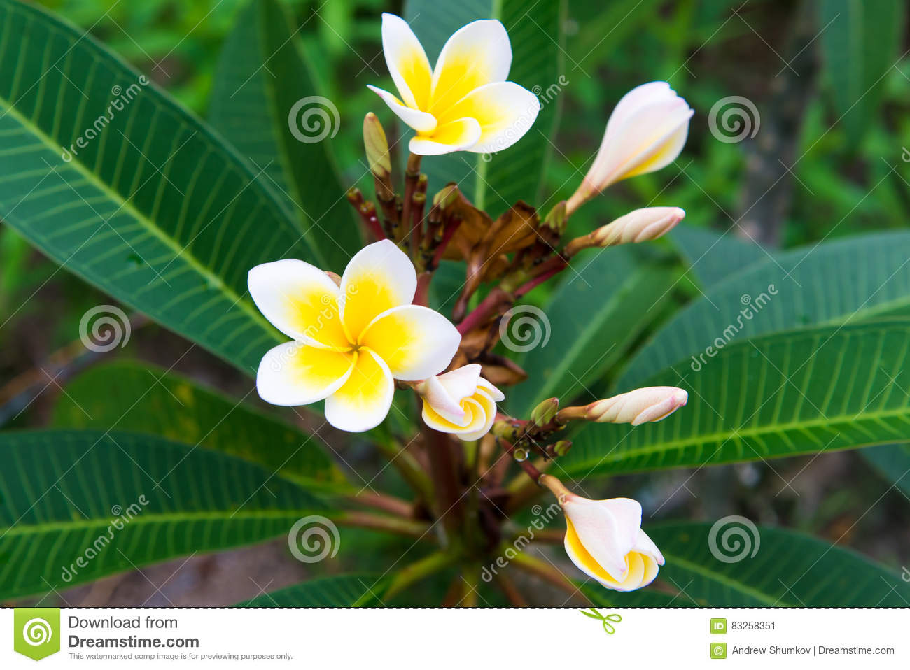 Plumeria a very beautiful flower from thailand stock image image plumeria a very beautiful flower from thailand izmirmasajfo Choice Image
