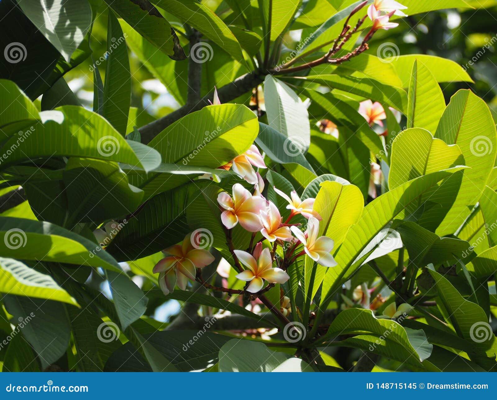 Plumeriabloem van Thailand
