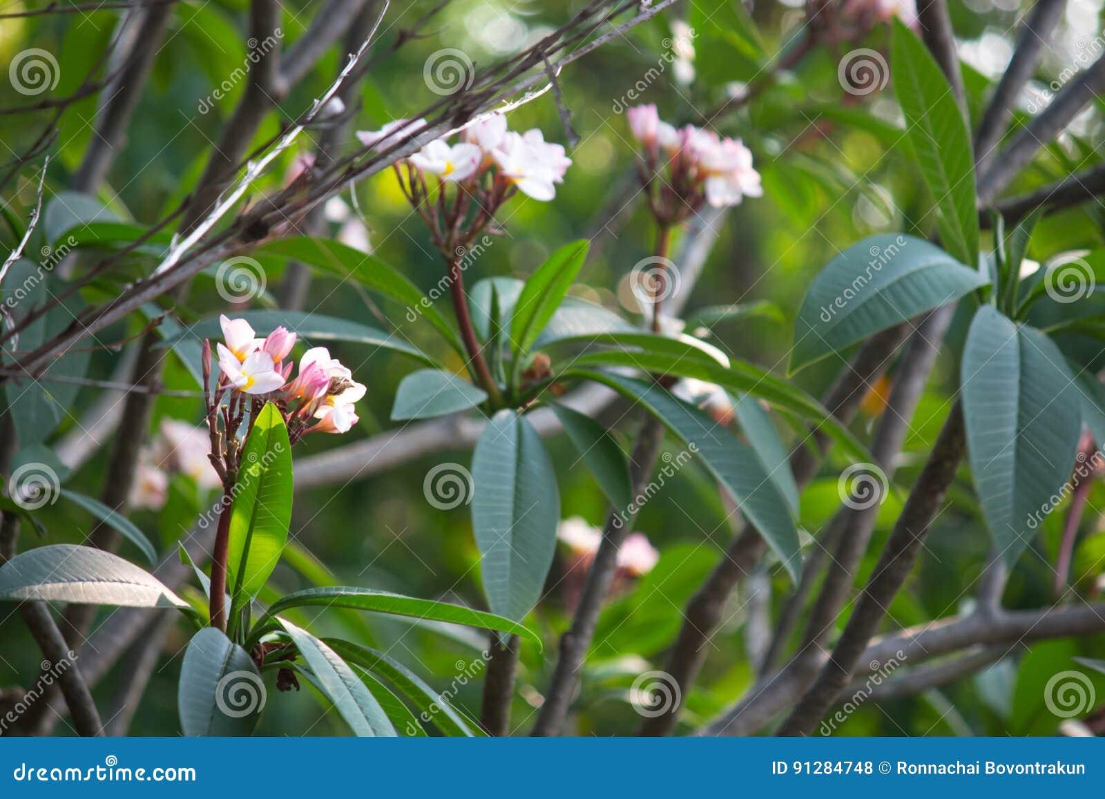 Plumeriafrangipanien blommar med bladet på träd