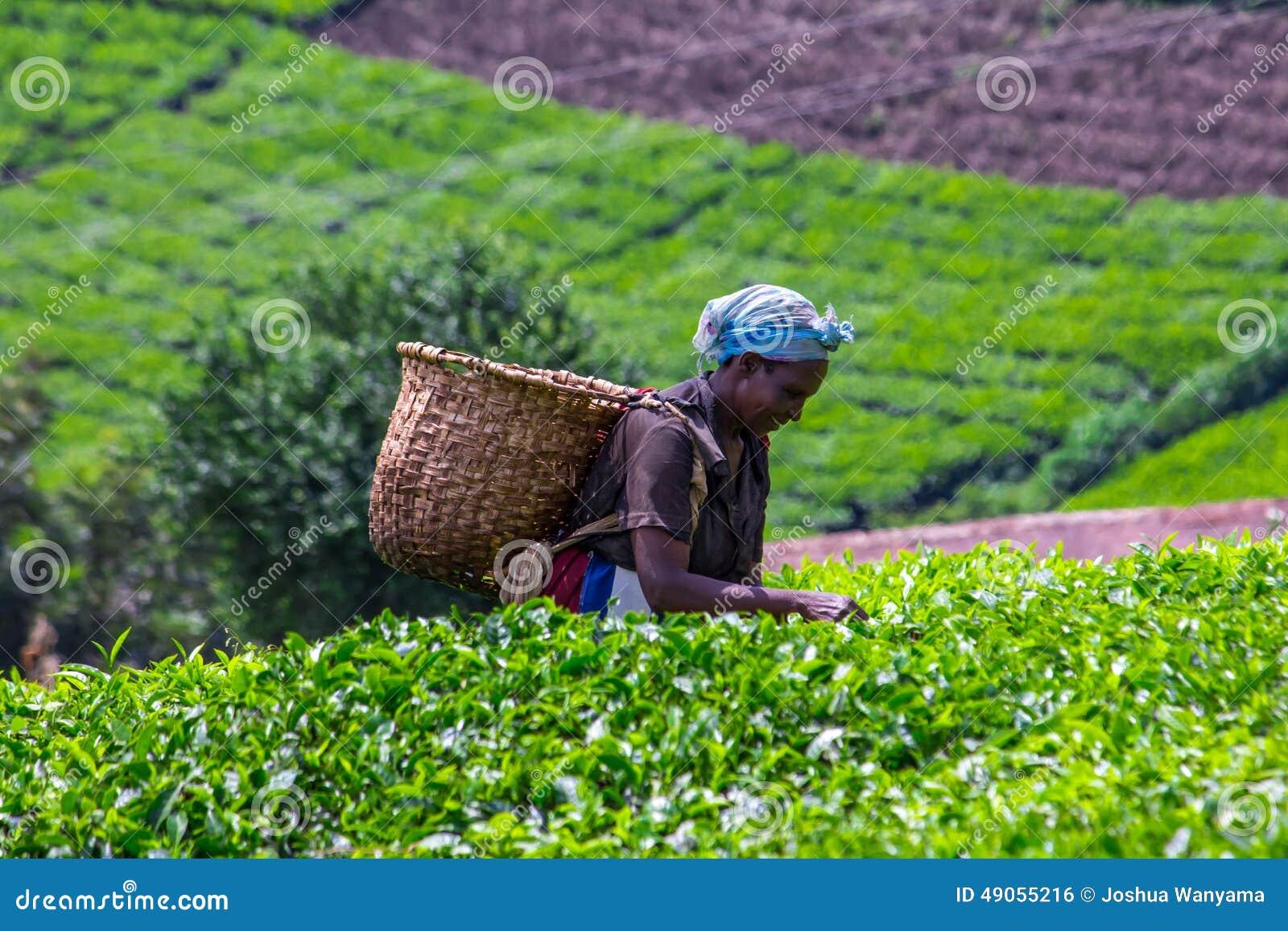 Plumeur de thé