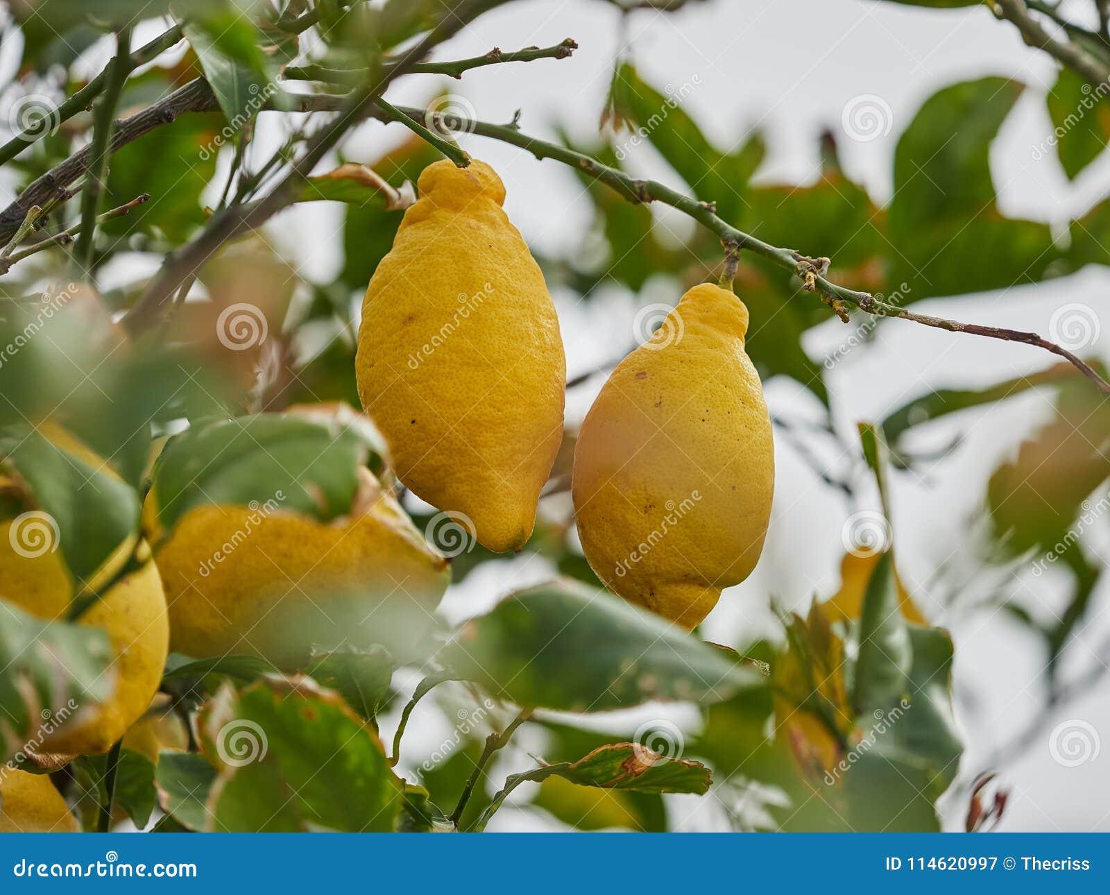 Plump, ripe, juicy lemons ready for harvest in a lemon tree in the Aeolian islands, Sicily, Italy