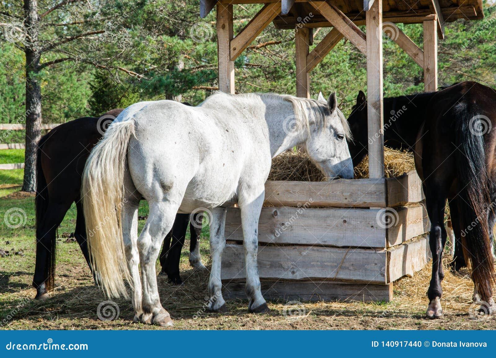Plusieurs chevaux mâchant le foin dans le stylo
