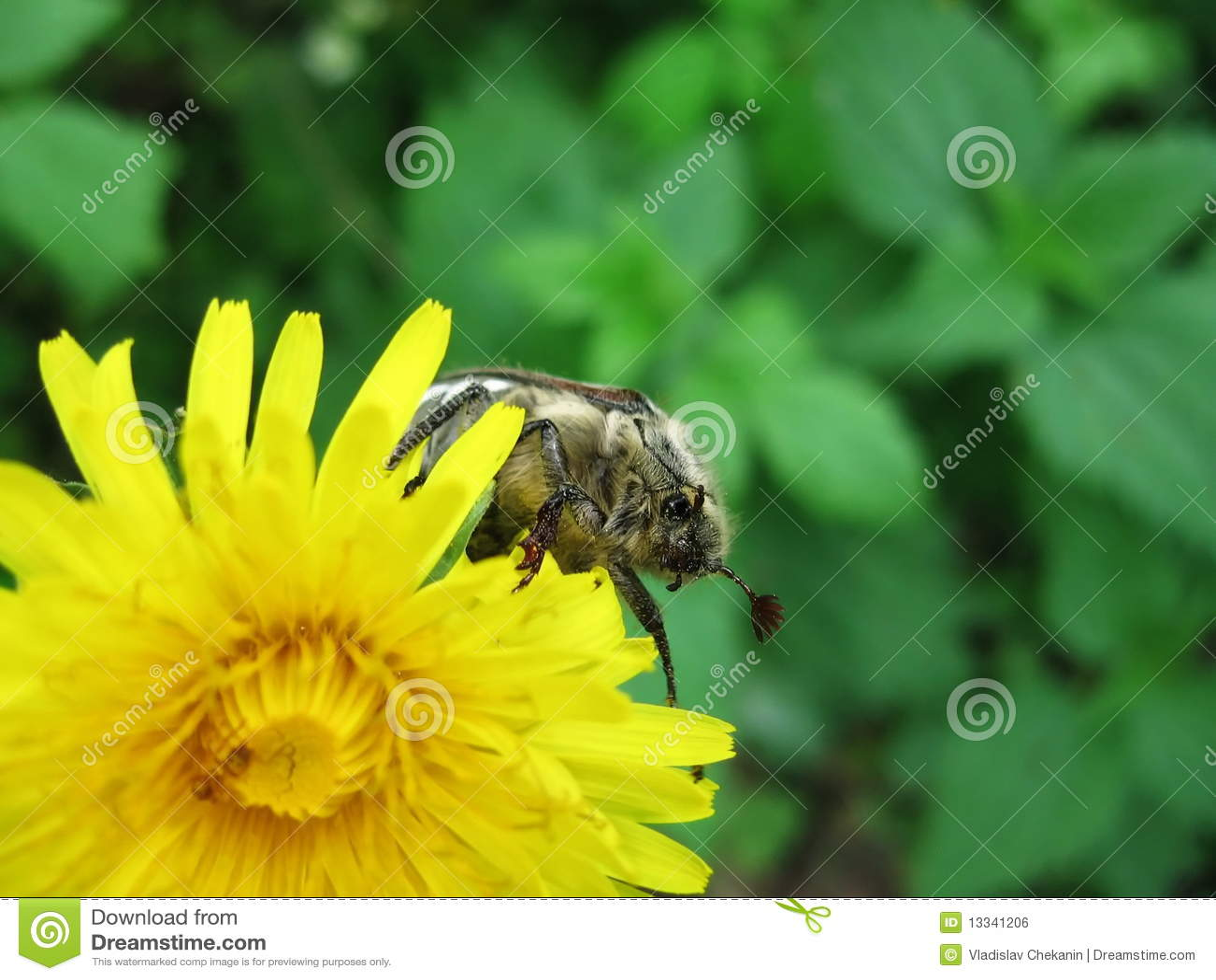 Pluskwa kwiat może