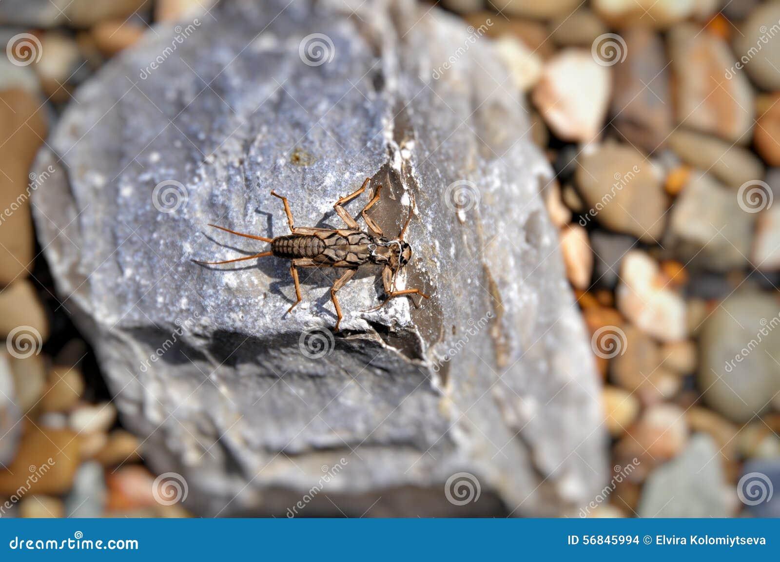 Pluskwa - larw caddis latają (Plecoptera)