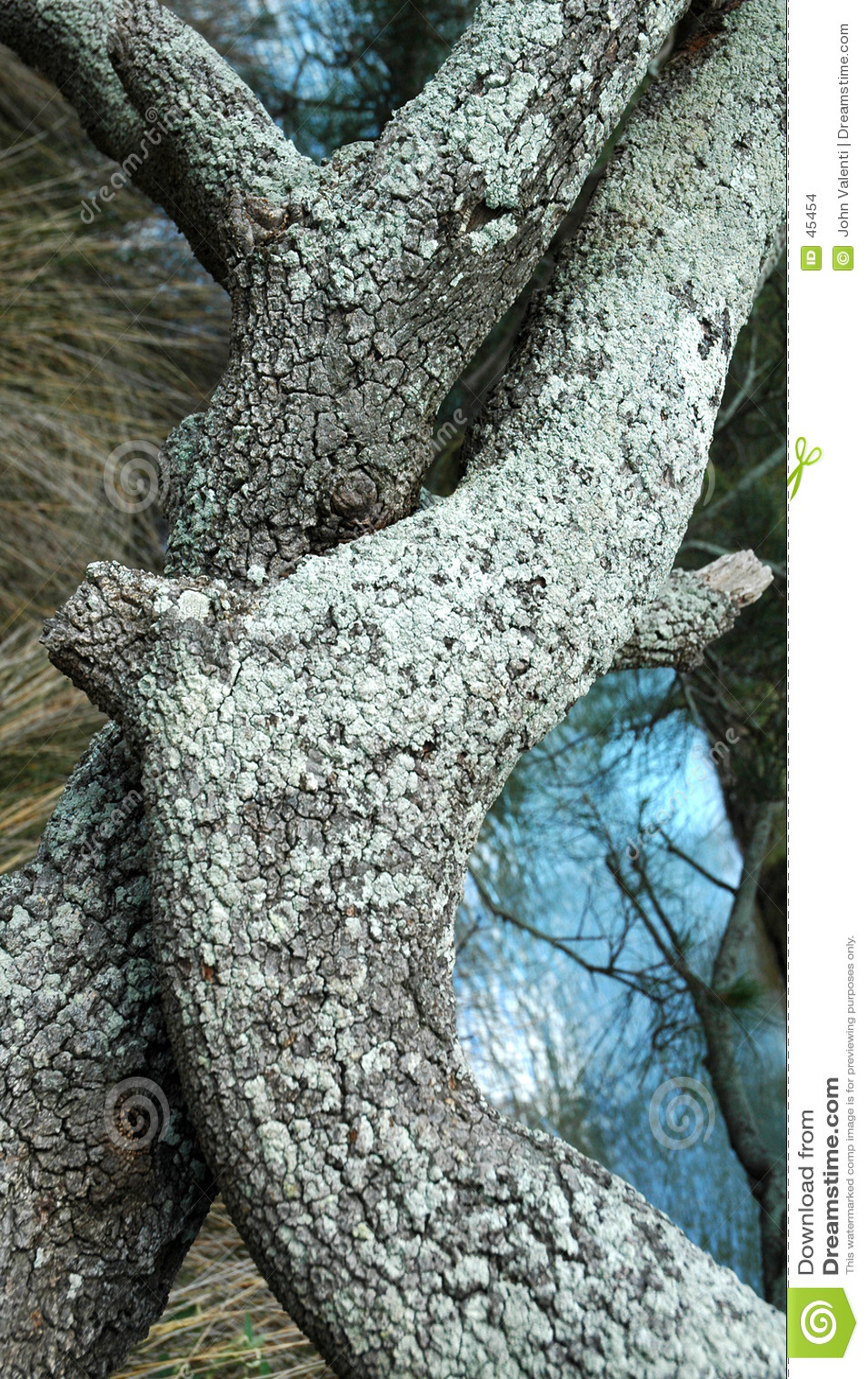 Pnia drzewa