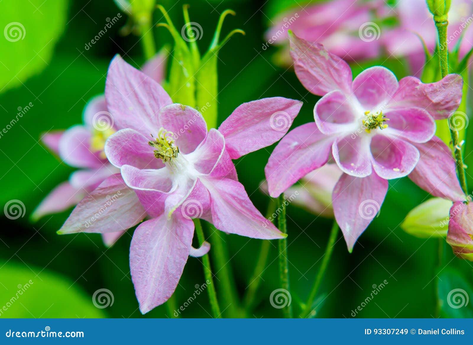 Cool white columbine flower contemporary wedding and flowers pink and white columbine flower blossoms stock image image of izmirmasajfo Images