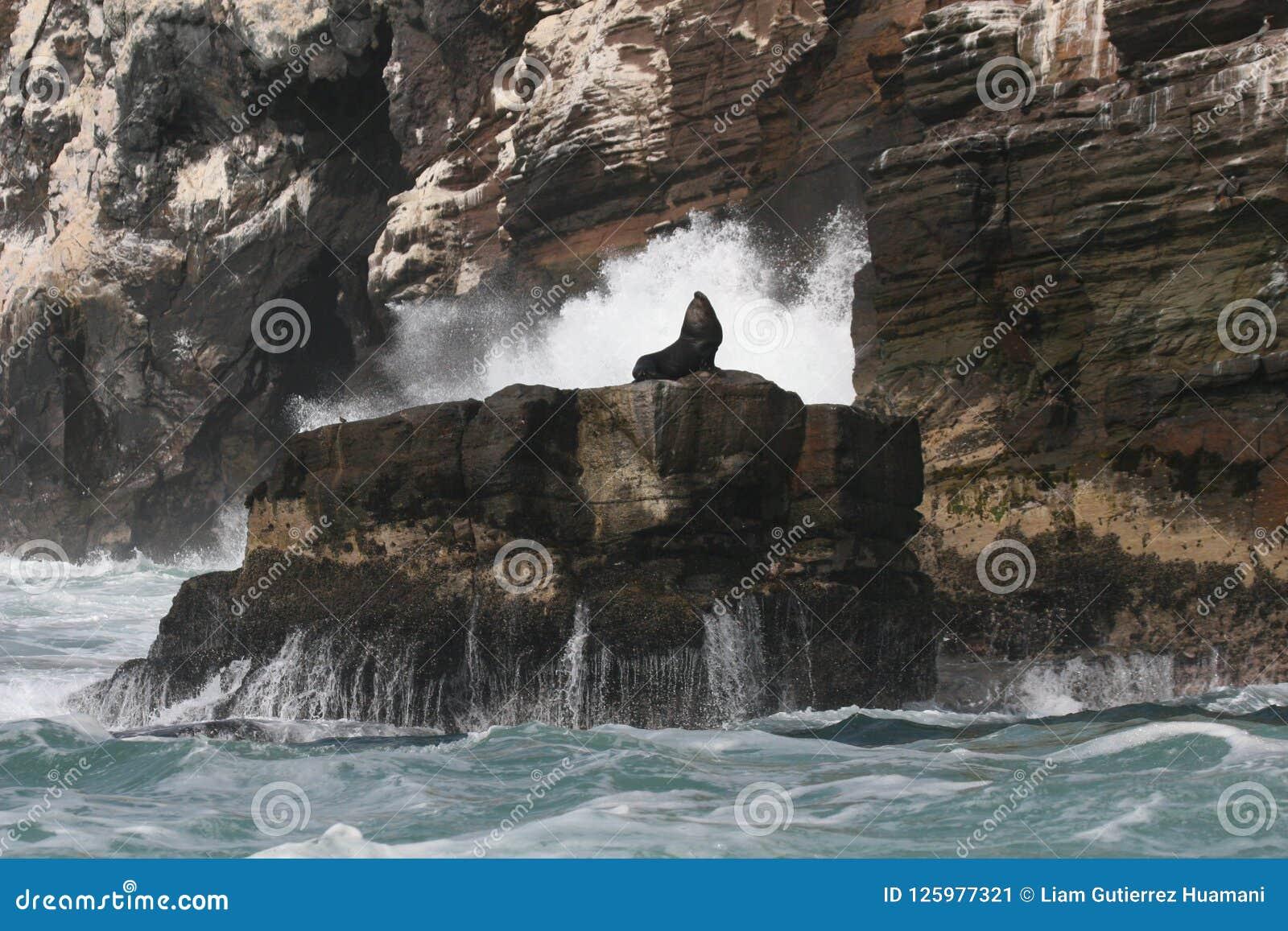 Południe - amerykańscy Denni lwy odpoczywa na skale z wybrzeża Peru