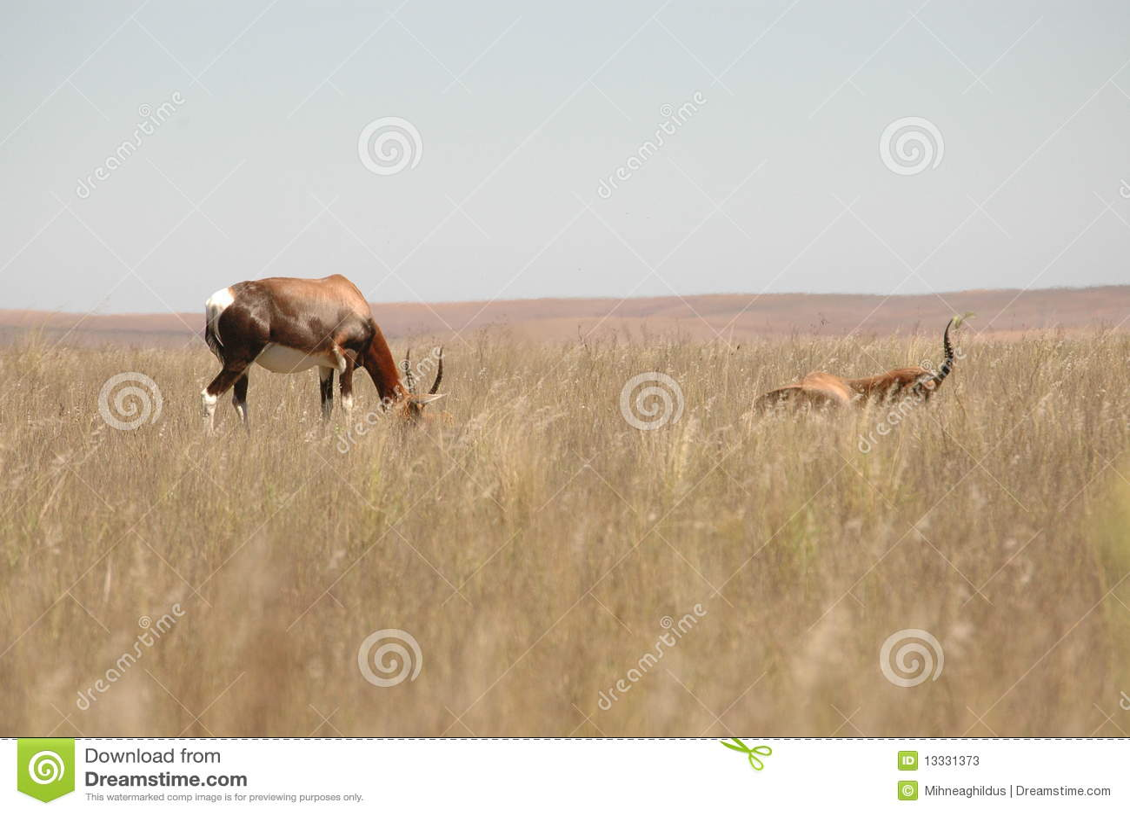 Południowe Africa antylopy