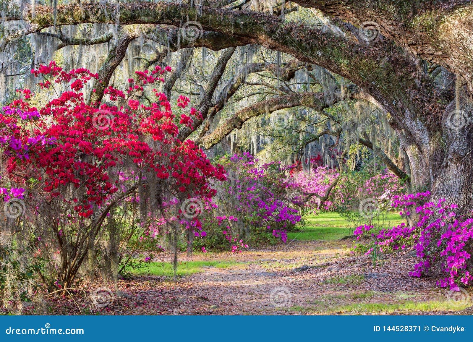 Południowy azalia ogród Południowa Karolina