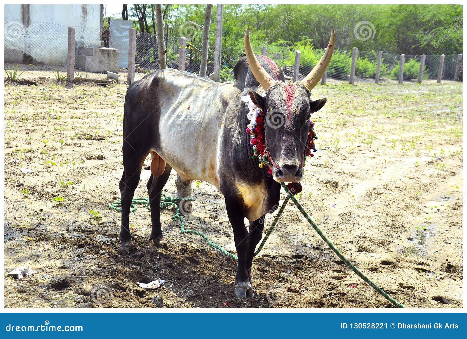 Południowy Indiański wioska byk