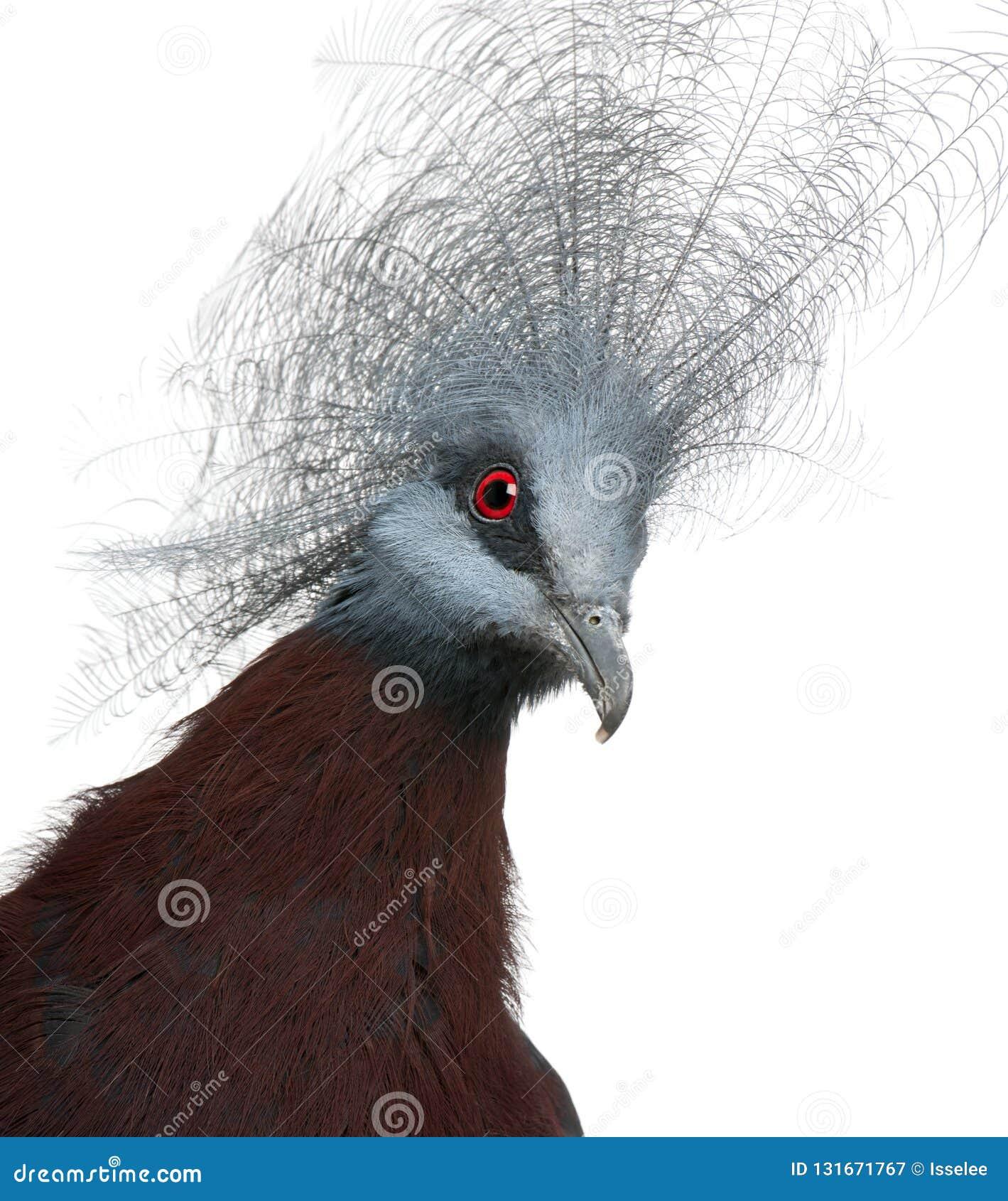 Południowy Koronowany gołąb, Goura scheepmakeri