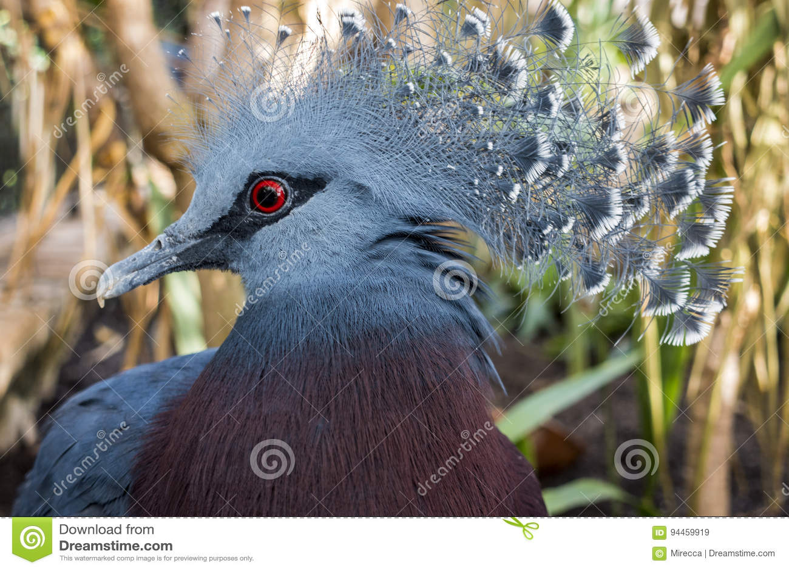 Południowy koronowany gołębi Goura scheepmakeri