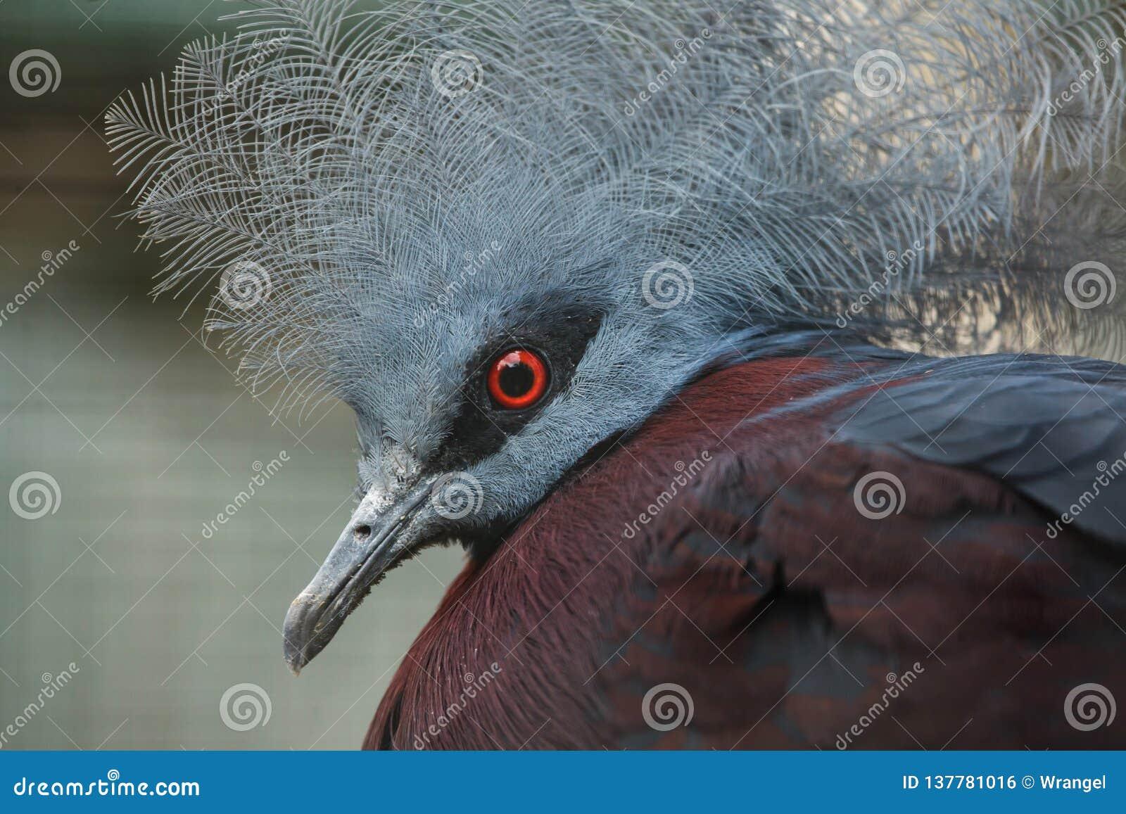 Południowy koronowany gołębi Goura scheepmakeri sclateri