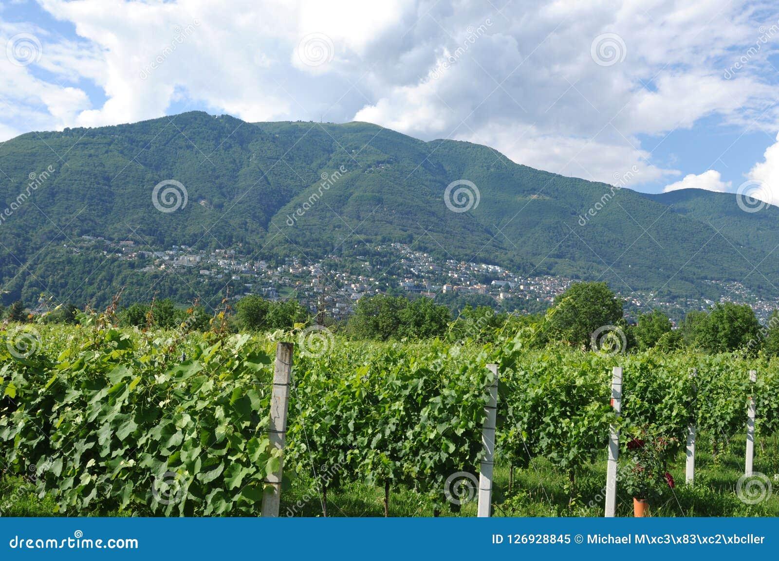 Południowy Szwajcaria: Wino jardy w Maggia Rzecznej delcie blisko Asc