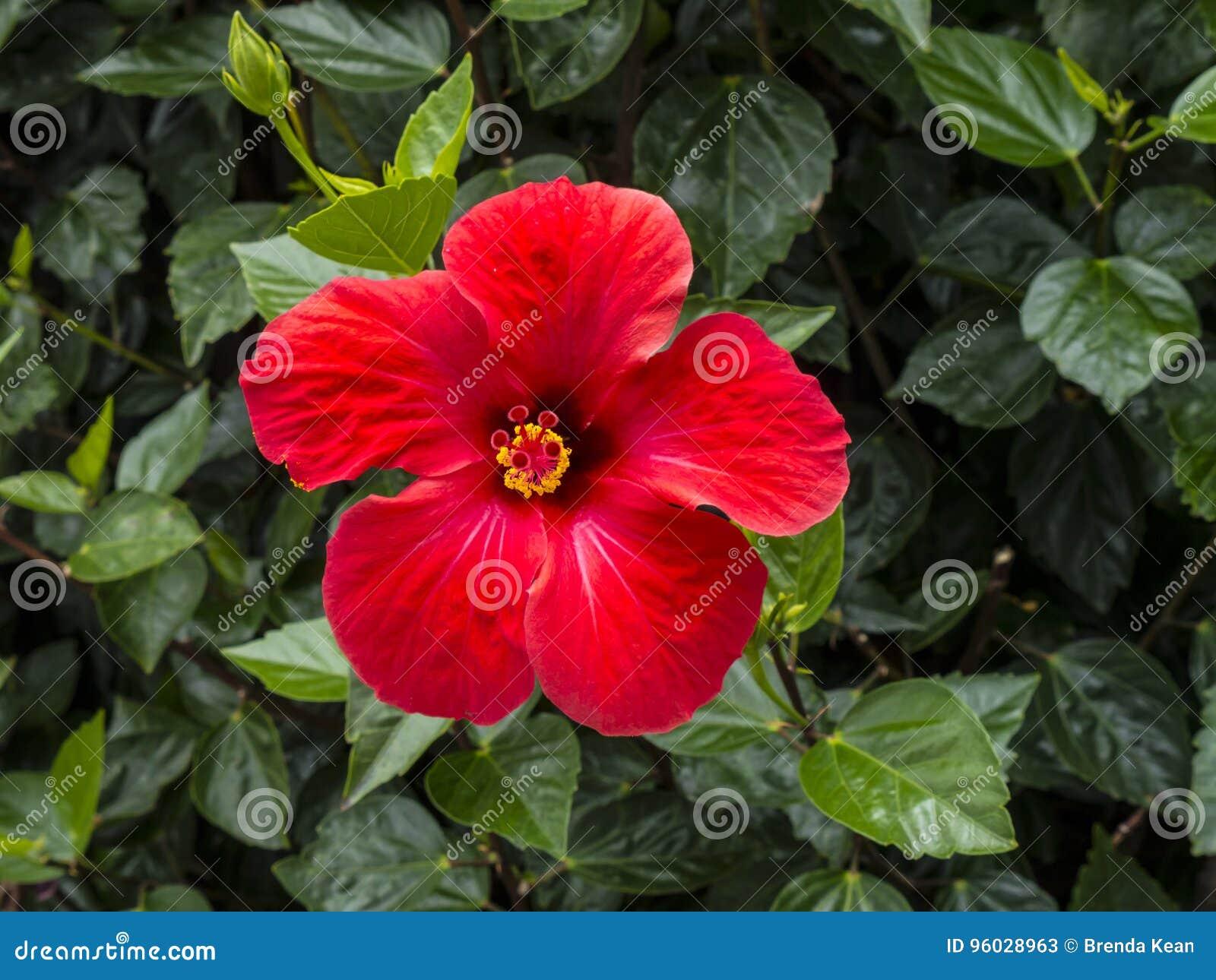 Poślubnika kwiat w Funchal maderze