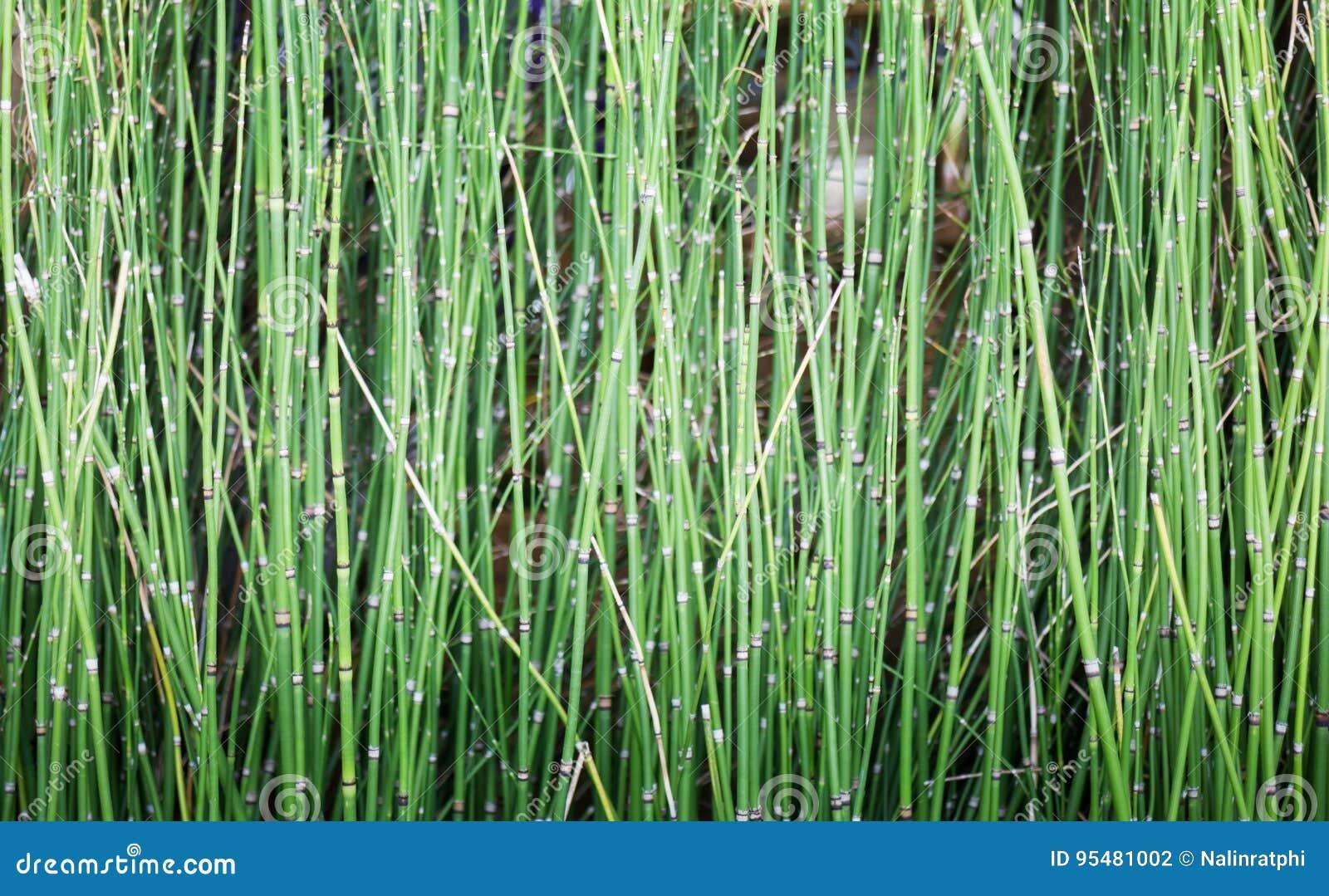 Pośpiech rośliny w ogród wody zbiorniku