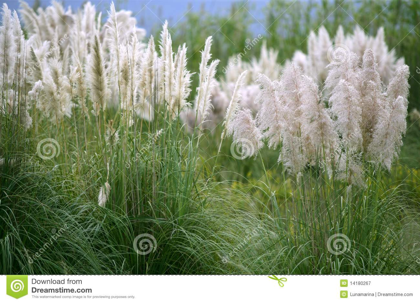 Royalty free stock photography poaceae wild spike savana flower