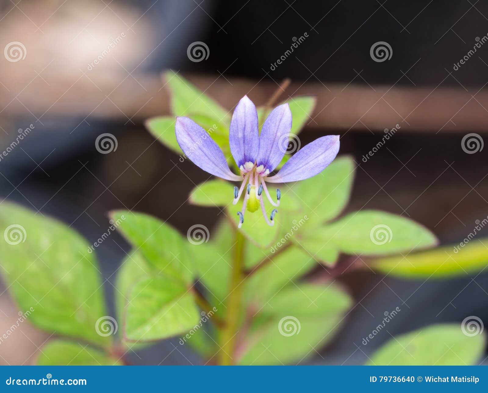 Poca floración indeseada azul de la flor